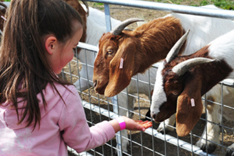 girl feeding goats