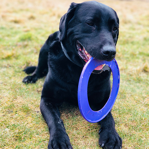 dog holding a frisbee at our dog day care in Guildford