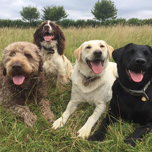 dogs in field smiling at dog day care in guildford