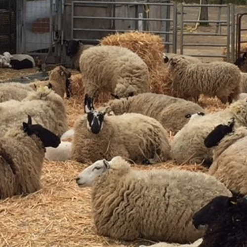 group-of-sheep