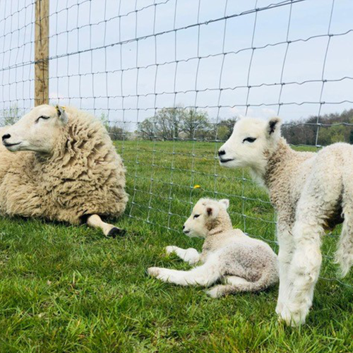 sheep-and-two-lambs