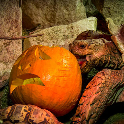 tortoise-trying-to-eat-pumpkin